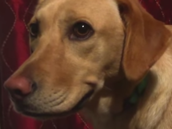 This dog who has been trained to smile for the camera looks miserable.