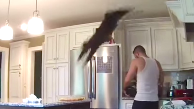 Watch this jerk cat straight-up destroy its owner's chicken dinner and laugh and laugh.