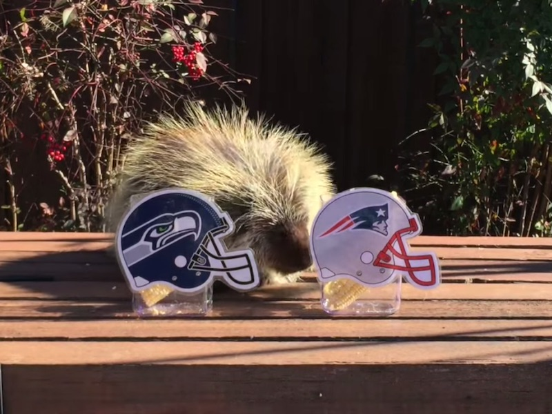 Teddy Bear the Porcupine goes for his fourth correct Super Bowl prediction in a row.