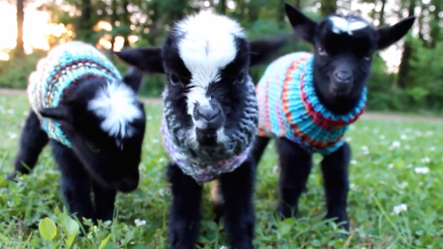 Scientists say taking a break to look at these baby goats in sweaters will actually make you more productive.