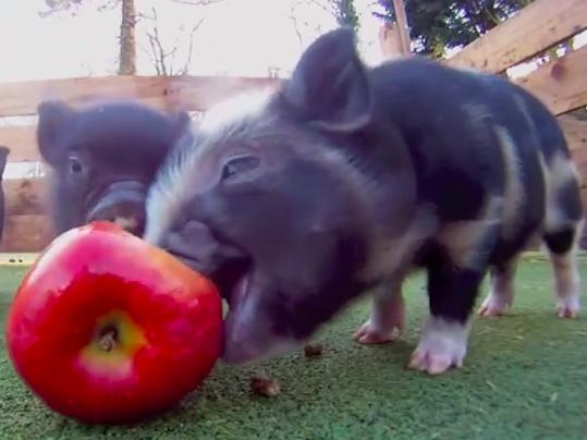 An apple looks huge when eaten by micro piglets.