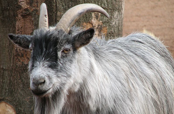 A bunch of goats sing the theme to 'Jurassic Park.'
