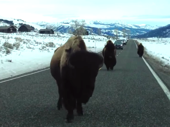 See who wins in the epic battle between buffalo and car.