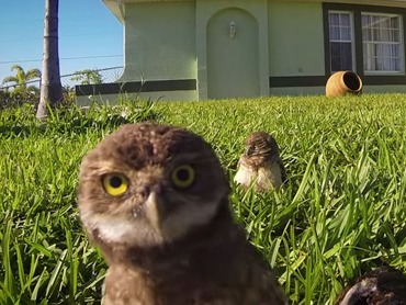 Some owls show off their sick dance moves for a photographer's lawn camera.