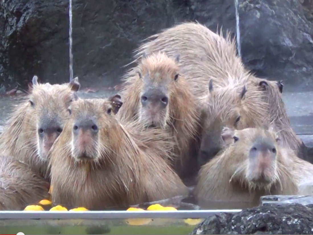 Watching these capybaras in a hot tub is the most jealous you'll ever be of giant rodents.