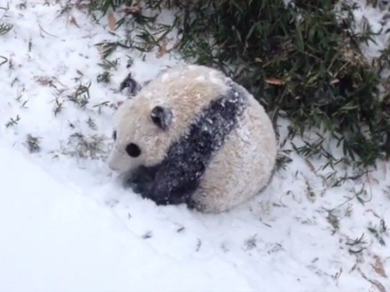 Bao Bao the baby panda rolls around in the snow because she has no job.