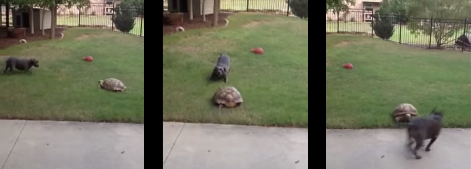 Rescued tortoise chases his best dog friend even though he'll never catch her.