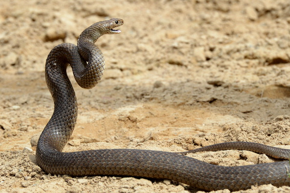 A snake's reaction upon being asked to leave a restaurant. (via Getty)
