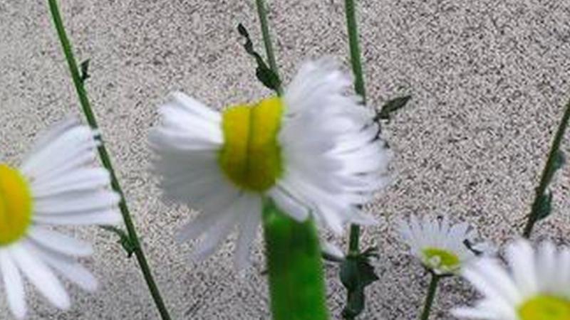 Towns 70 mi. from Fukushima are still radioactive enough to make viral mutated flower photos.