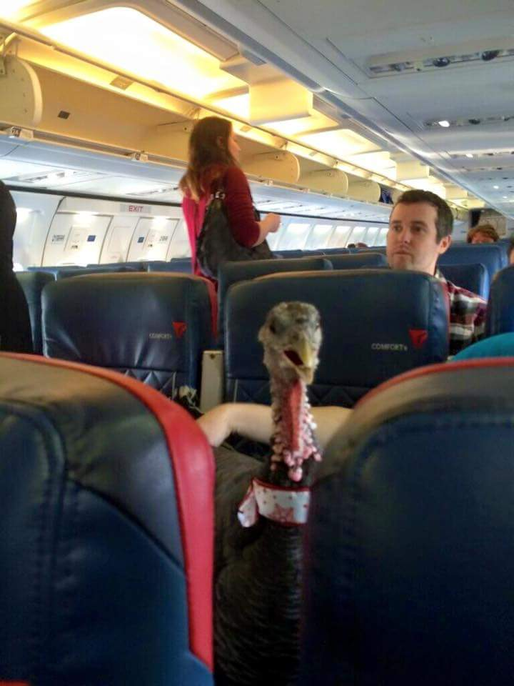 Therapy turkey rides airplane and reaches greater heights than a turkey could ever imagine.