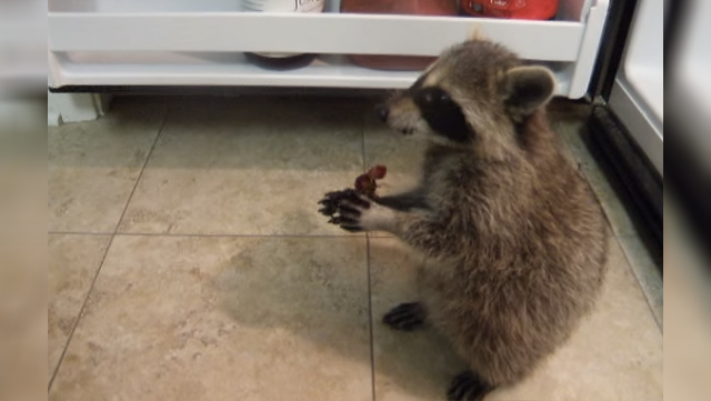 A baby raccoon wants to steal all of the grapes in the fridge.