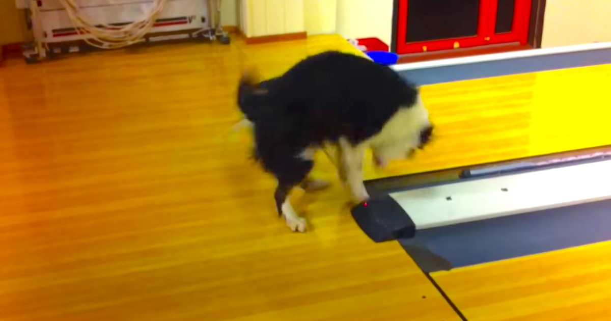 Border Collie has freakout of the decade after discovering the buzzer at a bowling alley.