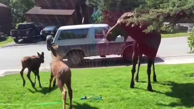 A family of wild moose have the time of their lives playing in a front yard sprinkler.