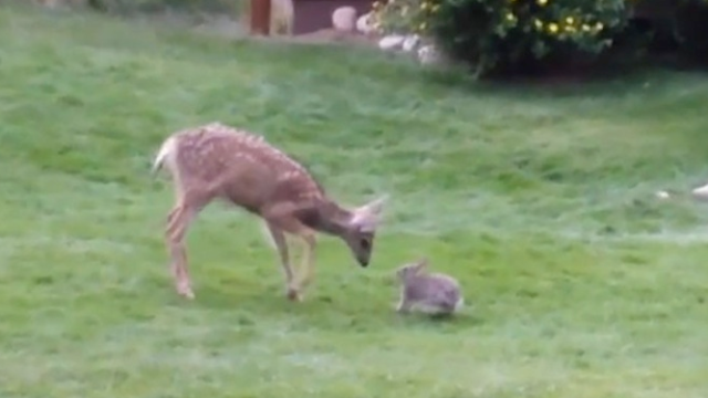 A real life Bambi and Thumper friendship makes that Disney pairing look pretty awkward.