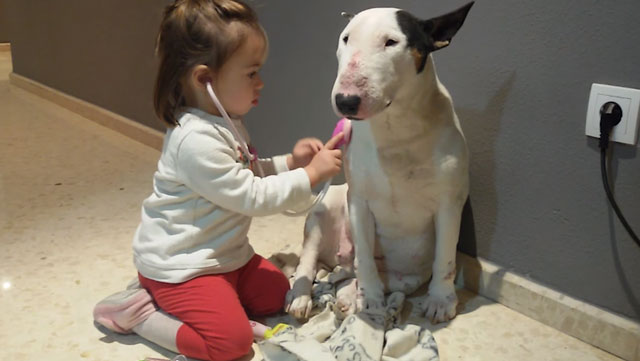 A very patient bull terrier gets a check-up from her toddler doctor.