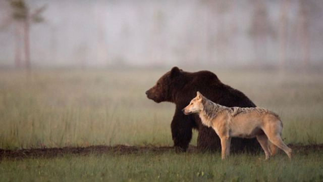 A wild bear and wolf are best friends, and they probably wouldn't be willing to include you.