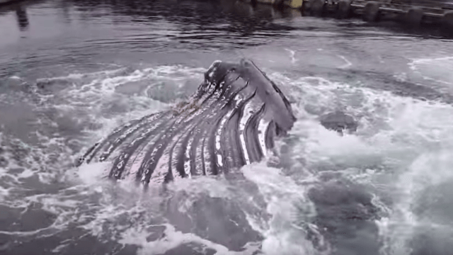 Whale says 'screw you' to whale-watching tours by swimming right into a marina.