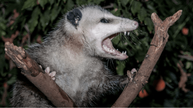 An opossum broke into a Florida liquor store and got wasted. Twitter relates.