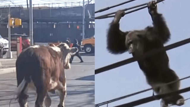 13 times animal escapes utterly delighted humans until it affected traffic.
