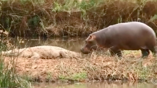 Baby hippo won't stop trying to convince cranky crocodile that they should be best friends.