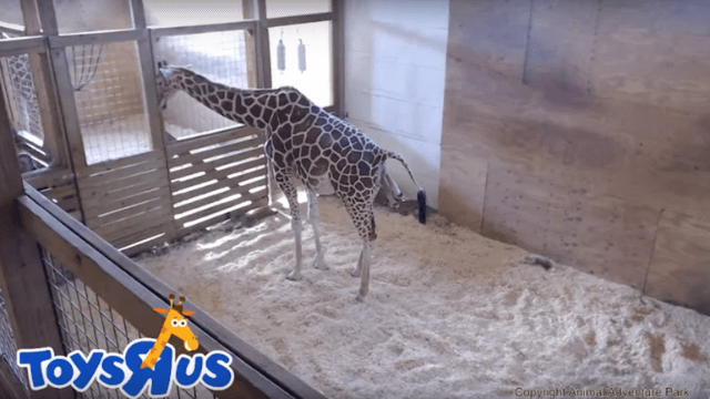 This is not a drill: April the giraffe is finally having her baby.