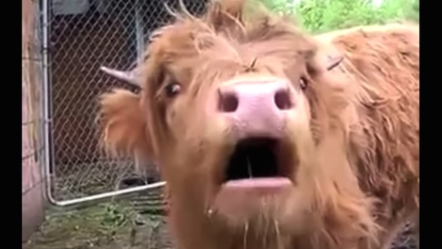 Autotuned cows prove anyone can sing (and are weirdly hypnotizing).