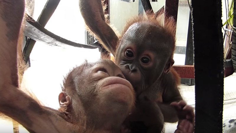 Baby orangutans say hello for the first time in a very literal meet cute.