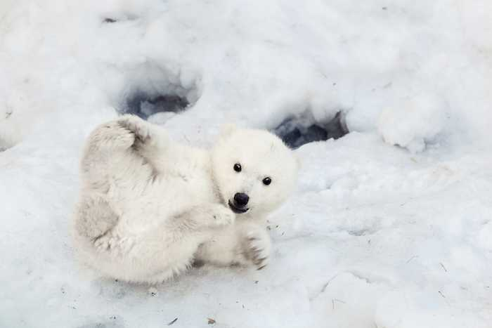 If this baby polar bear got any cuter, it'd be illegal.