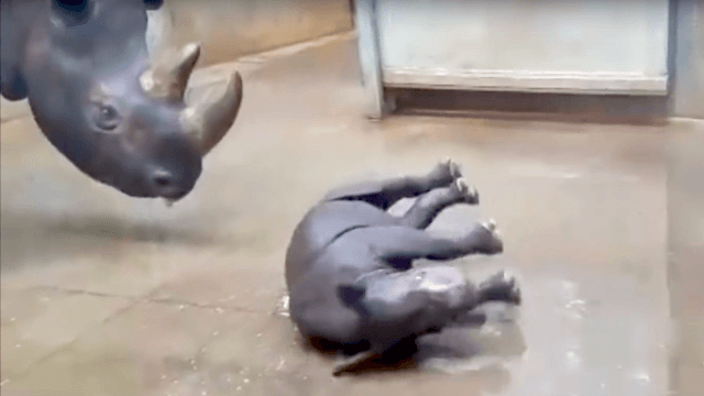 Adorable baby rhino takes first bath with mom and can't even understand this joy.