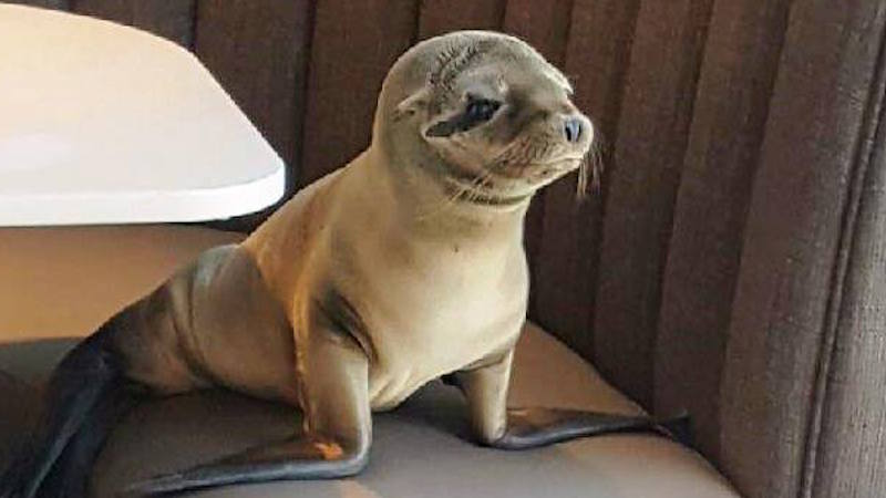 Starving baby sea lion takes seat at San Diego restaurant, lucks into all-inclusive SeaWorld vacation.