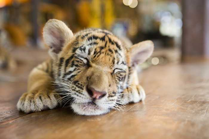 How can I let sleeping tigers lie when I want so much to wake you up to play?