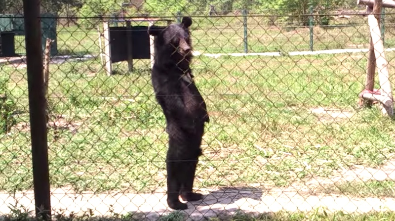 Try not to feel really weird watching this bear walk on its hind legs.