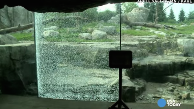 Bear breaks glass wall at zoo, signaling start of the animal takeover.