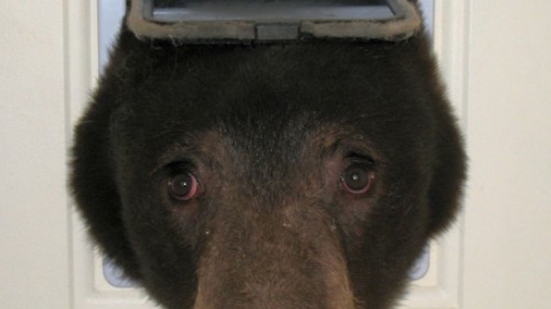 This bear just popped his head through a guy\u0027s cat door to say \u0027hey.\u0027 & This bear just popped his head through a guy\u0027s cat door to say ...