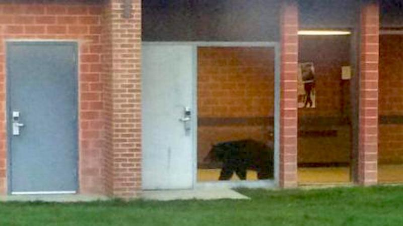 A bear wandered into a high school seeking knowledge, food.