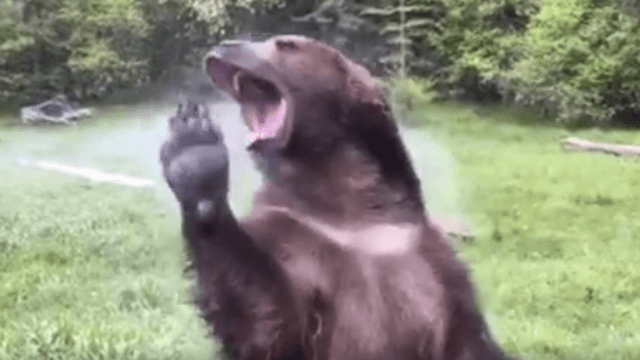 Let this bear partying in a sprinkler be your weekend inspiration.