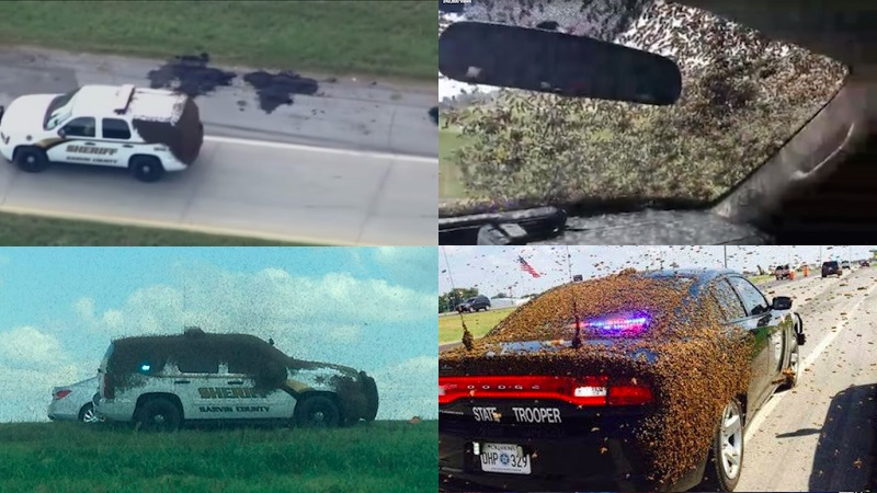Bee-seiged deputy films as his car is engulfed after tractor-trailer full of hives turns over.