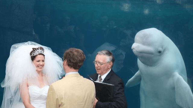 Beluga whale photobombs wedding, becomes the internet's hot new meme.