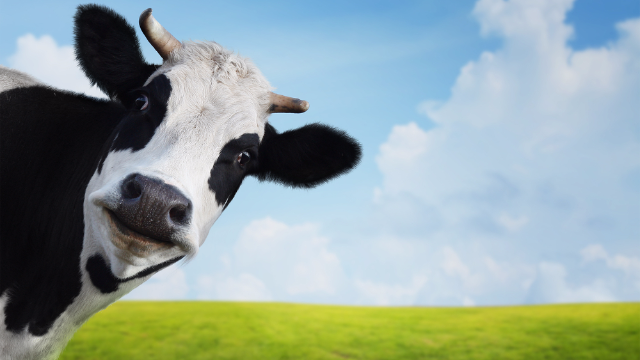 That big cow that went viral is not a big cow after all. People are having a cow.