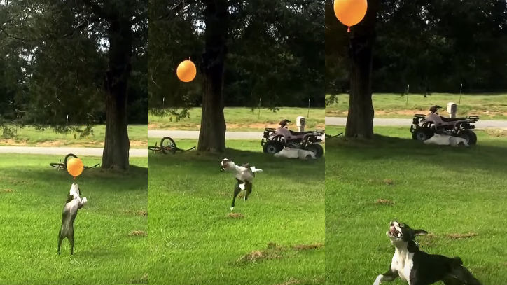 No human I've ever met has as much zest for life as this Boston Terrier playing with a balloon.