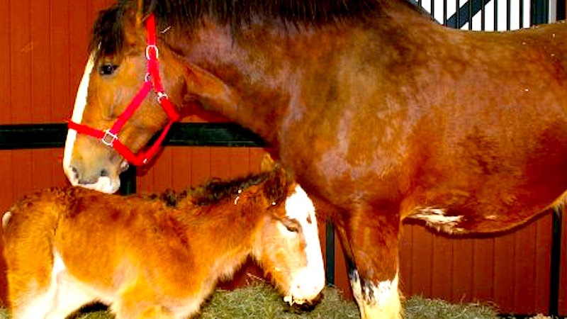 The Budweiser Clydesdales welcomed a new baby conveniently close to the Super Bowl.