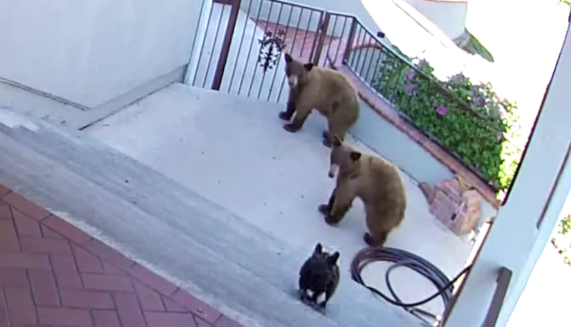 Tiny French bulldog scares off two bears in a modern David and Goliath tale.