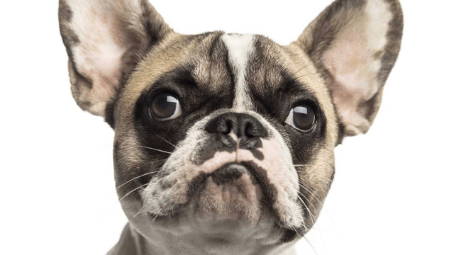 You cannot look at this MRI of Barry White the French bulldog without laughing.