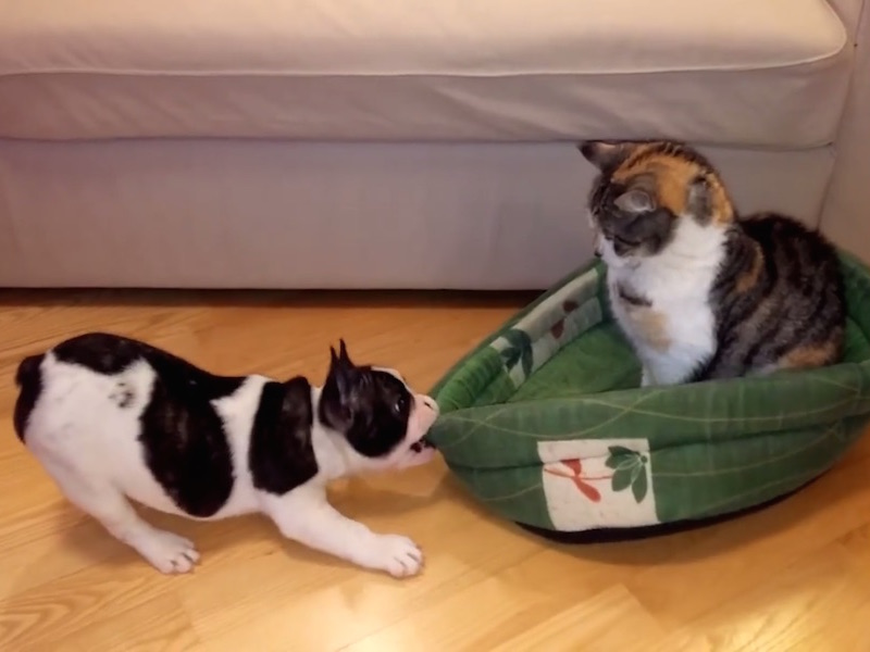 Bulldog puppy tries in vain to strike up a rivalry with the family cat.