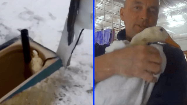 This farmer rescuing his favorite duck from hypothermia will make you want to hug your ducklings close.