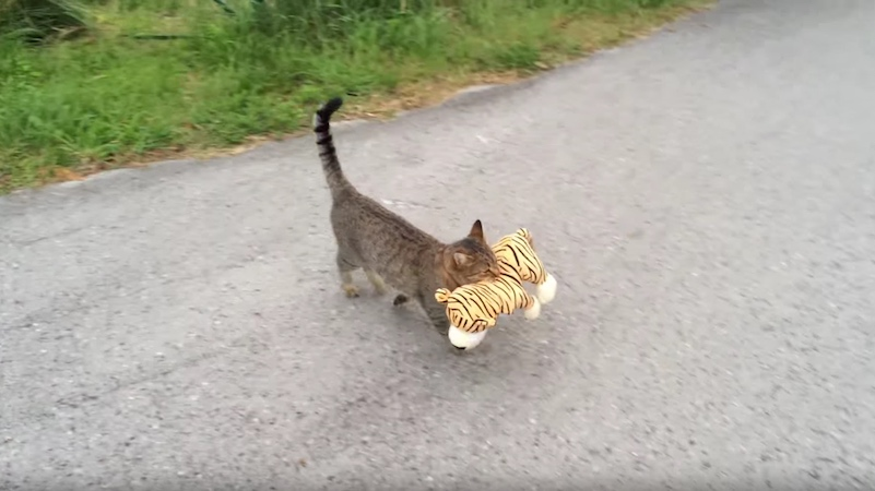 Cat pops over to neighbor's house to 'borrow' toy tiger for some important cat business.