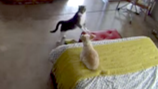 Cat silently intimidates dog into shutting up like a little mobster.