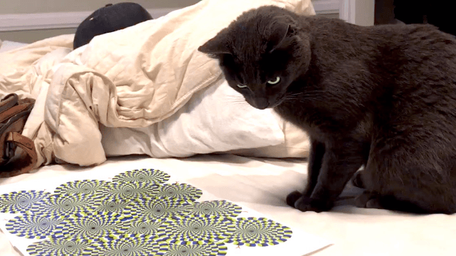 Cat mesmerized by optical illusion has extremely entertaining freakout.