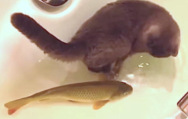Cat plays with catfish in a tub, thank you Internet gods.