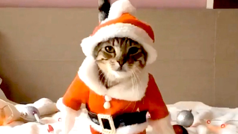These Miserable Cats Being Paraded In Christmas Costumes Are The ...